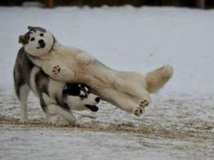 Just huskies being graceful......