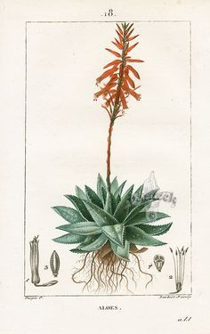 to get rid of Aloe stains first use an enzyme cleaner, they are for organic stains, they are usually marketed to clean up pet urine, Botany Illustration, Gravure Illustration, Illustration Botanique, Vintage Botanical Prints, Botanical Drawings, Botanical Art, Aloe Vera Tattoo, Impressions Botaniques, Image Deco