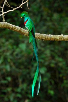 The Best 10 Quetzal Pics Most Beautiful Birds, Pretty Birds, Animals Beautiful, Rare Birds, Exotic Birds, Tropical Birds, Colorful Birds, Vogel Gif, Animals And Pets