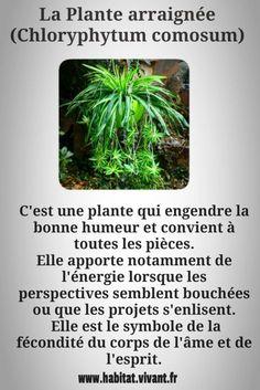 décoration végétale - chloryphytum comosum