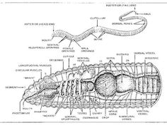 Worm Biology 101 Brain Diagram, Gcse Science, Worm Composting, Earthworms, Life Cycles, Biology, Gardening, Drawing, Google Search