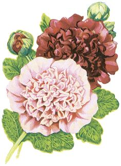 Free PNG graphic for your digital artwork ~ hollyhocks (originally from a vintage seed packet)