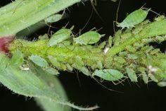 Zbavte sa vošiek bez chémie Plant Leaves, Plants, Crop Protection, Home Remedies, Plant, Planets