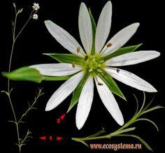 Звездчатка злаковая — Stellaria graminea L..