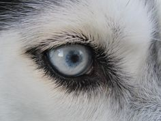 husky eyes <3