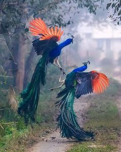 """When peacocks fight. they look like an exquisite Chinese painting. Look at the orange-red of their wings! Joan Crawford Movies, Peacock Wings, Good Evening Messages, James Mcneill Whistler, Krishna Photos, Great Shots, Chinese Painting, Nice To Meet, My Heart Is Breaking"