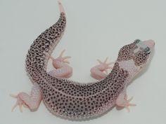 """Ultimate Gecko's """"Pie-like"""" Leopard Gecko"""