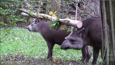 Seems like the tapirs are enjoying their swinging foraging log!
