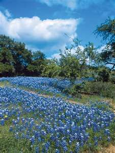 Fredericksburg, TX in March. The wildflowers in Central Texas are truly like nothing else I've seen. Beautiful Flowers, Beautiful Places, Fredericksburg Texas, Texas Bluebonnets, Texas Hill Country, Country Blue, Country Charm, Blue Bonnets, Parcs