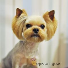Find Out More On The Brave Yorkie Grooming Toy Yorkshire Terrier, Yorkshire Terrier Haircut, Dog Grooming Styles, Dog Grooming Tips, Dog Haircuts, Yorky, Dog Care, Diy Dog, Cinnamon Hair