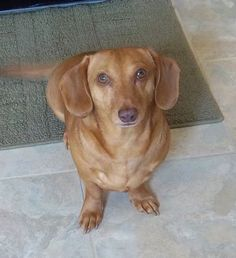 My Charlie, the fawn colored dachsund.