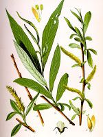 Information on the Side Effects and Health Benefits of the Herb White Willow Bark (Salix alba) and Its Traditional Uses and Medical Properties Healing Herbs, Medicinal Plants, Natural Healing, Natural Cures, Willow Bark, Willow Tree, Illustration Botanique, Botanical Illustration, Salix Alba