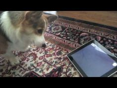 """A #Dog Tests the iPad - Tested.com I'm sur it thinks """"what kind of sorcery is this ?"""" #Corgi"""