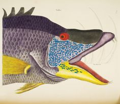 Mark Catesby (1683-1749). Catesby's Suillus is the gorgeous hogfish (Lachnolaimus maximus), a wrasse native to the western Atlantic Ocean and much prized for its flesh. From Mark Catesby's The Natural History of Carolina, Florida, and the Bahama Islands.
