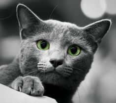 These features differentiate the Russian Blue from other blue purebred cats, such as the much stockier Chartreux and blue British Shorthair, and the slightly more solid Korat. Description from metaphoricalplatypus.com. I searched for this on bing.com/images