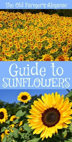The Complete Old Farmer's Almanac guide to Sunflowers: How to plant, grow, and cultivate Sunflowers. Information for Sunflowers on Almanac.com!
