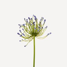 Andrew Zuckerman invites you to join him in looking again at forms you may think you know well, unearthing their quintessence in a new and unmitigated way. Andrew Zuckerman, Paper Wall Art, Agapanthus, Botanical Drawings, Bellisima, Dandelion, Invitations, Plants, Inspiration