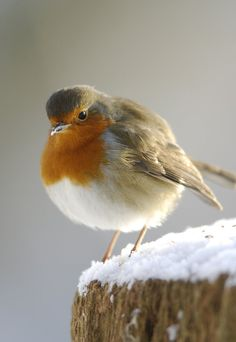 The European Robin (Erithacus rubecula), most commonly known in Anglophone Europe simply as the Robin, is a small insectivorous passerine bird that was formerly classed as a member of the thrush family (Turdidae), but is now considered to be a chat. It is found across Europe, east to Western Siberia and south to North Africa; it is sedentary in most of its range except the far north.