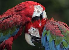 A pair of green winged  macaw cuddle up to one another at Chiba Zoological park in Chiba, near Tokyo