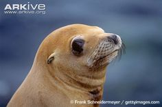 California sea lion ARKive Photos and Videos
