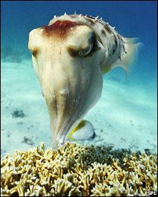 Cuttlefish belong to the class Cephalopoda (which also includes squid… Underwater Creatures, Underwater Life, Ocean Creatures, Beneath The Sea, Under The Sea, Cuttlefish, Life Aquatic, Exotic Fish, Sea And Ocean