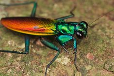 Mantis metalica La característica principal de esta curiosa especie endémica del el sudeste de Asia, es su iridiscencia, que según la luz muestra una gama de colores metalizados muy vistosos, aunque sin luz directa el aspecto de su color es oscuro.