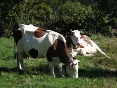 Cow, Cows, Beef, Meadow, Cattle