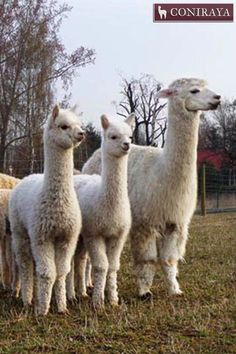 """Have You seen spring?? We're waiting... xD"" alpacas"