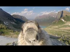 A marmot who snuck into a Greenpeace video on national parks took a selfie with the GoPro camera!