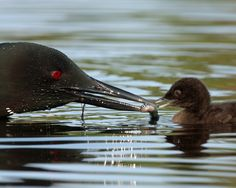 An incredible photo by Peter Ferguson!!!  Wow! Common Loon (Photo Credit: Peter Ferguson)