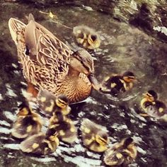 A Momma duck and her ducklings swimming in the waters of the Oasis at Disney's Animal Kingdom
