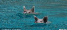 Swimming Pigs in the crystal clear sea of the Bahamas