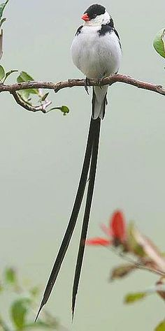 Pin Tailed Whyda, South Africa