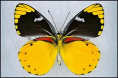Delias Splendida -Male -Verso -Timor, Indonesia -(2.5 in wingspan)