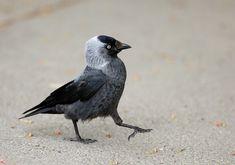 Slikovni rezultat za corvus monedula