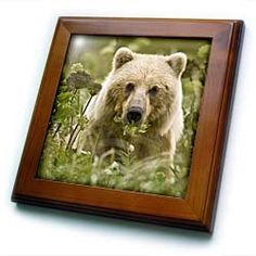 """Alaska, Lake Clark NP, grizzly bear - US02 BJA0115 - Jaynes Gallery - 8x8 Framed Tile by 3dRose. $22.99. Cherry Finish. Solid wood frame. Keyhole in the back of frame allows for easy hanging.. Dimensions: 8"""" H x 8"""" W x 1/2"""" D. Inset high gloss 6"""" x 6"""" ceramic tile.. Alaska, Lake Clark NP, grizzly bear - US02 BJA0115 - Jaynes Gallery Framed Tile is 8"""" x 8"""" with a 6"""" x 6"""" high gloss inset ceramic tile, surrounded by a solid wood frame with pre-drilled keyhole for easy wall mounting."""