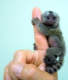 World's smallest monkey, the pygmy marmoset.  Too cute!!!!!  Omg i want one!!!