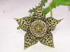 Flor de lagarto, una de las más extravagantes