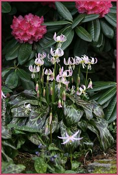 Fawn Lilies in the Rhododendron Garden - Photo by Lillian Egleston