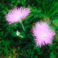 2014-05-30  撫子  オーテモリに咲いていた撫子。大都会の森も段々モリモリになってきました〜♪  四季の花々も増えて楽しくなってきました♪