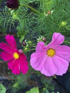 Cosmos - fuchsia et rose bébé