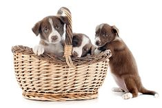 See only the cutest & most adorable pictures of border collie puppy dogs right here . More puppy pics are added almost daily for your enjoyment . Border Collie Puppies, Border Collies, Puppy Pictures, Cute Pictures, Border Collie Pictures, Dog School, Buy A Dog, Puppy Breeds, Chihuahua