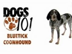 Dogs 101 - Bluetick Coonhound / My Bellatrix Iris Velvet Elisa--just adopted on Oct. 22! ;D <3
