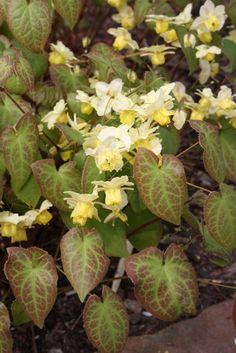 """Epimedium x versicolor 'Sulphureum' (Sulphureum Fairy Wings) dry shade, spreads 4-6"""" yearly"""