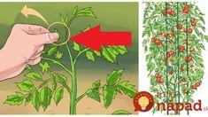 Záhradkár ukázal najjednoduchšiu metódu, ako zvýšiť úrodu paradajok: Toto urobte hneď, keď ich vysadíte – úžasné výnosy! Gardening, Ale, Lawn And Garden, Ale Beer, Ales, Horticulture, Beer