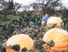 25 seeds Dills Atlantic Giant pumpkin seeds by nurseryseeds Giant Pumpkin Seeds, Bloom Where You Are Planted, Seeds For Sale, Garden Seeds, Flower Seeds, Pumpkins, Gourds, Plants, Pumpkin Growing