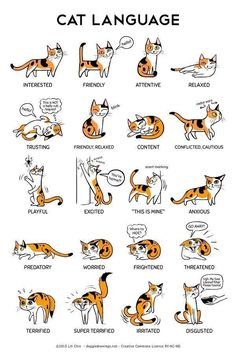 Educational infographic : Educational infographic : This cat language infographic shows how cat posture co