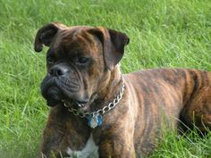 FOR HIM - female brindle boxer
