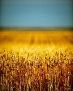 Blue+yellow of Ukraine. Blue skies over golden fields.
