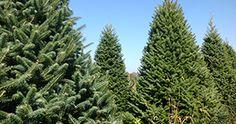 Cassens Trees
